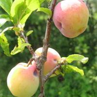 Подскажите, что происходит с плодами на сливе?