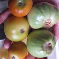 Помидоры отгнивают от плодоножки. Это болезнь или результат дождей?