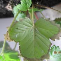 Сохнут края на листьях клубники. Это паутинный клещ?