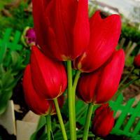 "Тюльпан букетного типа ""Рулет"": 10 луковиц - 50 цветков"