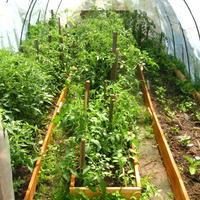 Сколько нижних листьев можно удалить у томатов без вреда для растения?