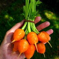 """Круглая морковь """"Полярная клюква"""" удивит всех!"""