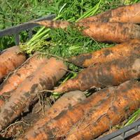 Морковь 'Королева осени' — отличный вариант для ленивых, не подводит который год!