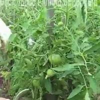 Как я формирую свои томаты летом