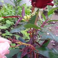 Подскажите, что с розой?