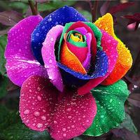 Подскажите, это такой сорт розы?