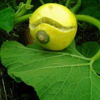 Почему плод тыквы треснул?