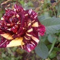 Роза Фокус Покус