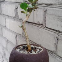 Правильно ли развивается денежное дерево? Как укрепить  его ствол?