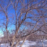 В саду есть несколько деревьев, которые находятся в запущенном состоянии. Стоит ли в феврале делать обрезку или проредить крону?