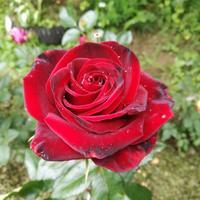 Продолжение о розах