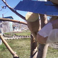 Прививка с седлом за кору