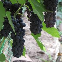 Виноградный сок без пресса, соковыжималки и соковарки