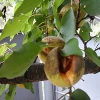 Прямо на дереве недозревшие плоды абрикосов лопаются и начинают гнить. Что делать?