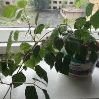 Подскажите, это что за растение и относится ли оно к вьюновым?