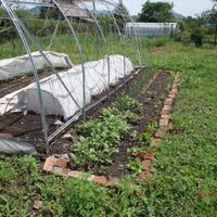 Огородные эксперименты (продолжение)