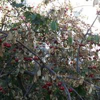 Почему листья вишни засохли?