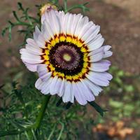 Один из моих любимых  цветущих однолетников - хризантема килеватая