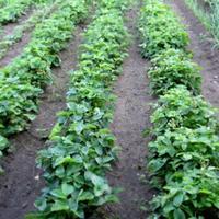Как правильно посадить клубнику под осень?