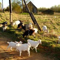 Козы, огород и перспективы