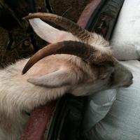 Козья деревня или деревня коз