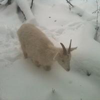 Козья зимняя жизнь в хлеве