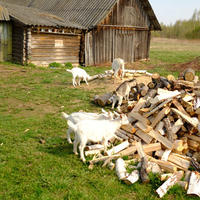 И не про коз совсем, а про козье молоко и его запах