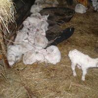 Козлята и козы в марте, а также старый верный метод
