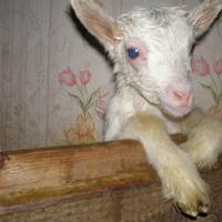 Сказочный апрель, козы и козлята