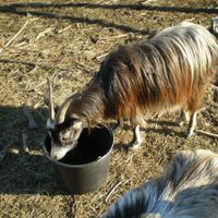 Самые весенние козы и их дойка, а также записи о незначимых событиях
