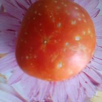 Почему помидоры в пупырышках?