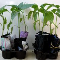 Новая жизнь старых вещей, или Мои секреты выращивания рассады