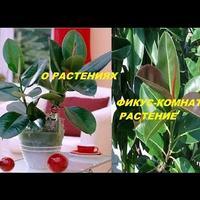 Фикус - комнатное растение