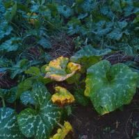 Листья тыквы обожглись азотом при внекорневой подкормке (переборщил с дозой), как можно помочь растениям?