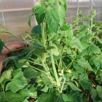 Из листьев томатов растут мощные пасынки. Что делать?