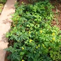 Мульча из горчицы для помидоров. Органическое земледелие