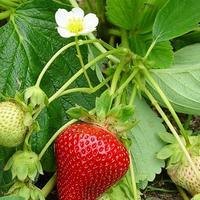 Бор для клубники второго урожая. Как получить второй урожай клубники
