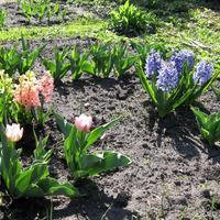 Весенние цветы моего сада, майский вернисаж