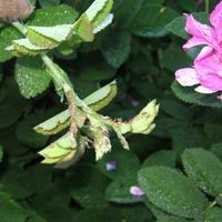Розы и ромашки от тли очищены! Препарат Искра Двойной Эффект показал себя отлично!