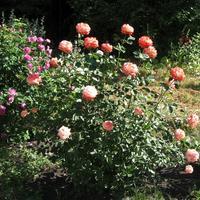Цветы в моем саду: в начале лета балом правят розы (часть 1)
