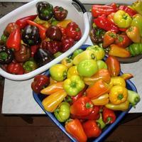 Урожай перцев увеличила на 22% Агрикола для овощей!