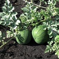 Свои семена – это практично, экономно и очень увлекательно