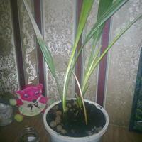 В одном горшке уже 4 года растут 2 финиковых пальмы. Стоит ли их разделять?