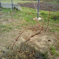 Как ухаживать за виноградом Изабелла? Нужно ли обрезать и укрывать на зиму? Что делать весной?
