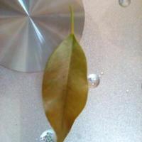 У фикуса сохнут и опадают листья. Что делать?