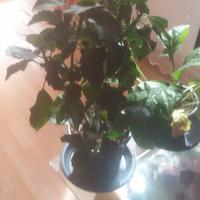 Помогите, пожалуйста, узнать, что это за растение?