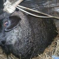 Наши пуховые козы