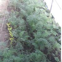 Как я научилась укроп выращивать