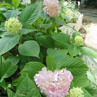 Цветок гортензии стоял в вазе и со временем пустил корни. Можно ли посадить в горшок, а весной посадить на даче?