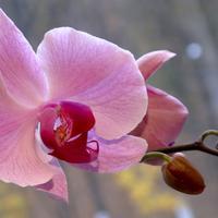 Почему у фаленопсисов отваливаются воздушные корни?